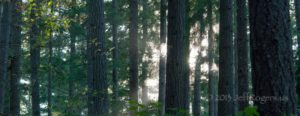 jr-gorgeous-trees-with-dapples-of-light